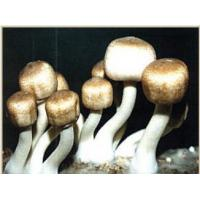 China Agaricus Blazei Extract-Polysaccharides & Steroids wholesale