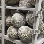 China Blast Tuna Fish Cold room wholesale