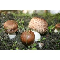 China Agaricus blazei extract 20%-40%,edible and medicinal mushroom,GMP/HACCPcertificate wholesale
