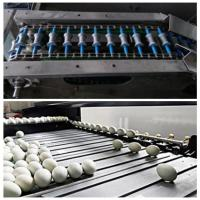 China Automatic Egg Date Stamp Machine With Six Ink Can Print 1.2 Million Eggs wholesale