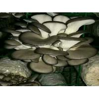 China Factory Price Premium Cultivated Oyster Mushroom Spawn Logs (Pleurotus  Spawns) on sale