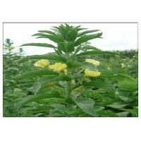 China Evening Primrose Organic Plant Oils Food Grade Golden Yellow Color ISO Certification wholesale