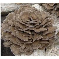 China Organic Grifola frondosa powder / Organic Maitake mushroom powder on sale