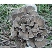 China Grifola Frondosa (Maitake) Polysaccharide on sale