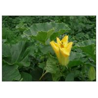 China Ecocert Organic Pumpkin Oil , Pumpkin Oil Supplement From Seed For Heart Diseases wholesale