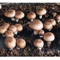 China Agaricus Blazei Polysaccharide (water soluble) wholesale