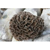 China Grifola Frondosa extract, Maitake Mushroom Extract, 10%-30%polysaccharide, Chinese manufacturer, Shaanxi Yongyuan Bio on sale