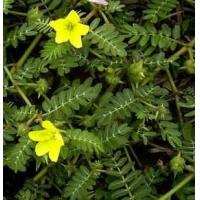 Quality Tribulus Terrestris Natural Plant Extracts 40% - 90% Saponins For Cardiotonic for sale