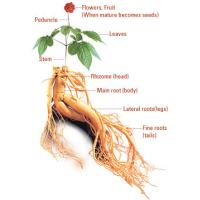 China Factory supply siberian ginseng extract from Felicia@imaherb.com wholesale