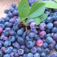 China ISO&GMP Chinese Bilberry P.E(1-25% Anthocyanidins) wholesale
