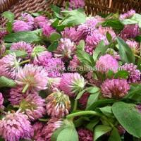 China High Quality Red Clover Blossoms P.E. wholesale