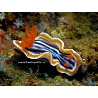 Buy cheap CHROMODORIS MAGNIFICA from wholesalers