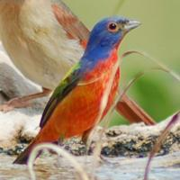 China Browse by Common Name Painted Bunting wholesale