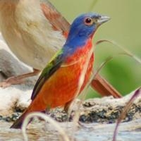 China Browse by Common Name Painted Bunting
