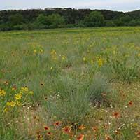 Quality Native Seed Mixes Blackland Prairie Mix for sale