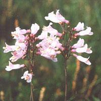 Buy cheap Browse by Botanical Name Beardtongue from wholesalers