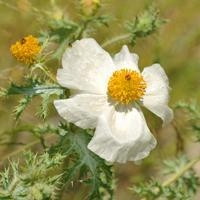 China Browse by Common Name White Prickly Poppy