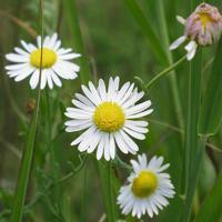 Quality Browse by Common Name Lazy Daisy for sale