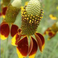 Buy cheap Browse by Common Name Mexican Hat from wholesalers