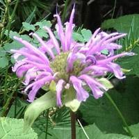 Buy cheap Browse by Common Name Bergamot from wholesalers