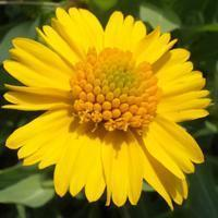 Quality Browse by Common Name Huisache Daisy for sale