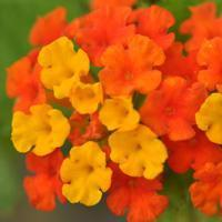 Quality Browse by Common Name Lantana for sale