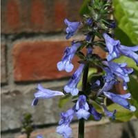 China Browse by Common Name Lyre-Leaf Sage