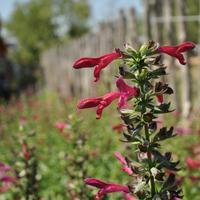 Buy cheap Browse by Common Name Big Red Sage Hensley's from wholesalers