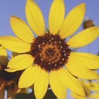 Quality Browse by Common Name Common Sunflower for sale