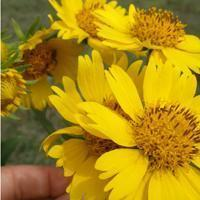 Quality Browse by Common Name Cowpen Daisy for sale