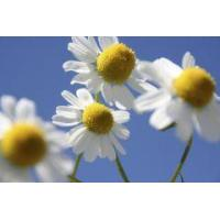 Quality Aromatic waters Chamomile essential water for sale