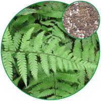 China Polypodium Nipponicum(wall Fern ),curing Arthrophlogosis, Sores and Pains Chinese Herbal Medicine wholesale