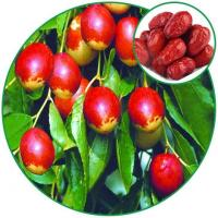 China Chinese-date(jujube Fruit),improving Immune Chinese Herbal Medicine Bulk in Store wholesale